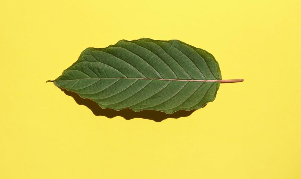 kratom leaf on yellow background