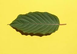 kratom leaf on yellow background